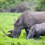 Grief: Uganda's Mother Rhino Nandi Dies At 22!