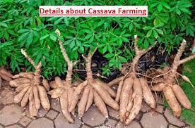 Are You Planning To Grow Cassava On Commercial Scale? Fulfil It With These Tips