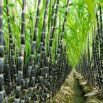 Farmers Guide: Here Are Harvesting Steps In Sugar Cane Farming