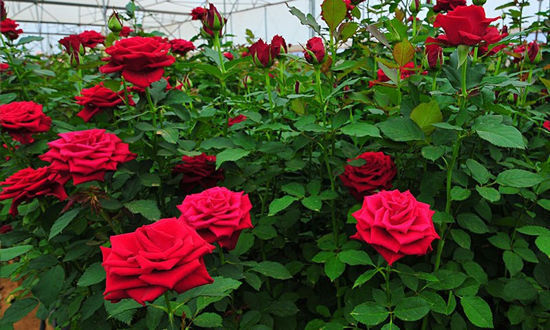 Looking For Charming Flowers? Rush To Premier Roses & Be Served The Best