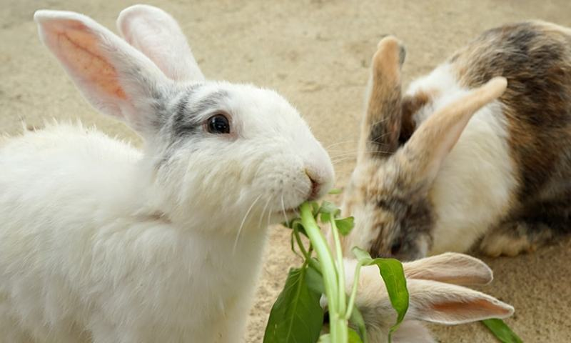 Farmer's Guide: How Should You Feed Your Rabbit?