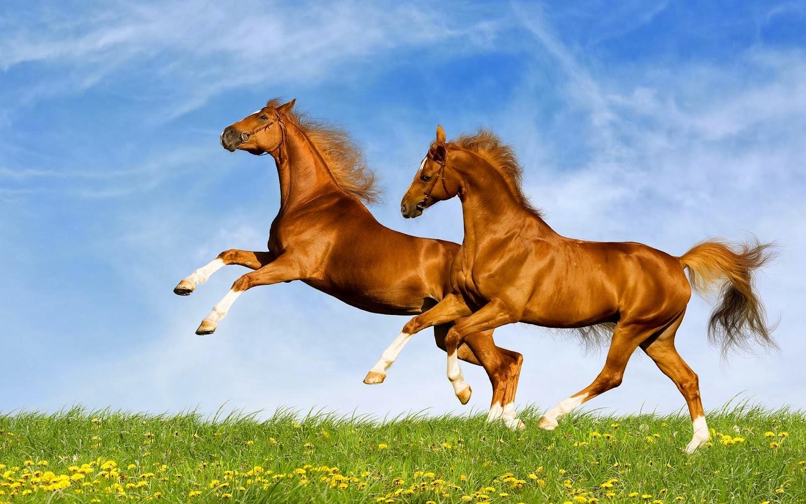 صور خيول جديدة وجميلة روعة صورة حصان عربي اصيل احصنة