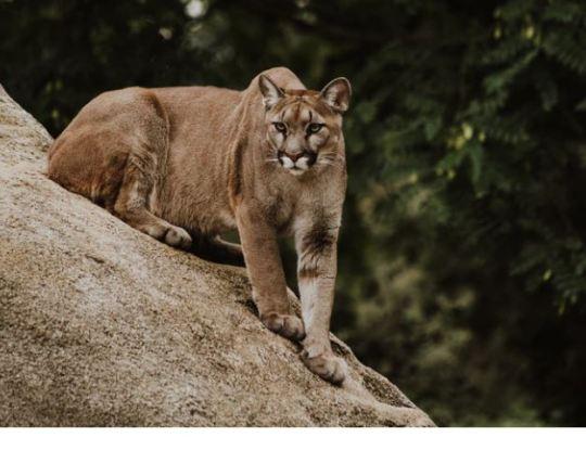 https://i1.wp.com/www.squamishreporter.com/wp-content/uploads/2021/02/cougar-3.jpg?fit=540%2C415&ssl=1