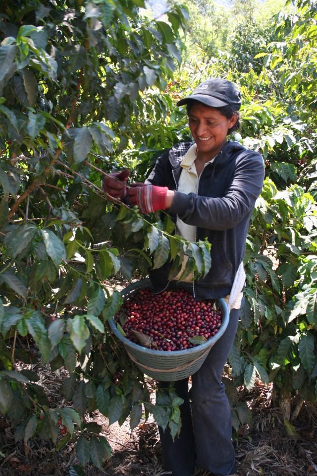 Margarita picking