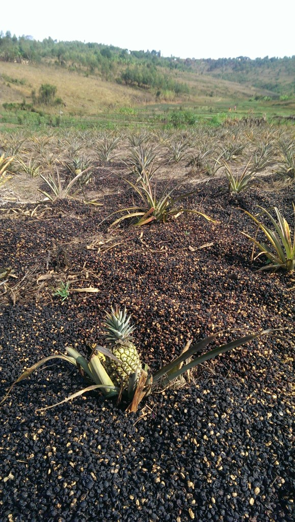 Using pulp to fertilse the pineapples