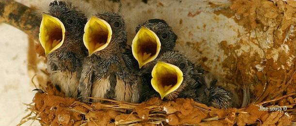 pollets Orenetes