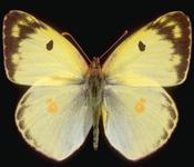 Colias_alfacariensis