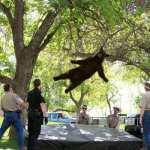 Spašavanje medvjeda, SAD
