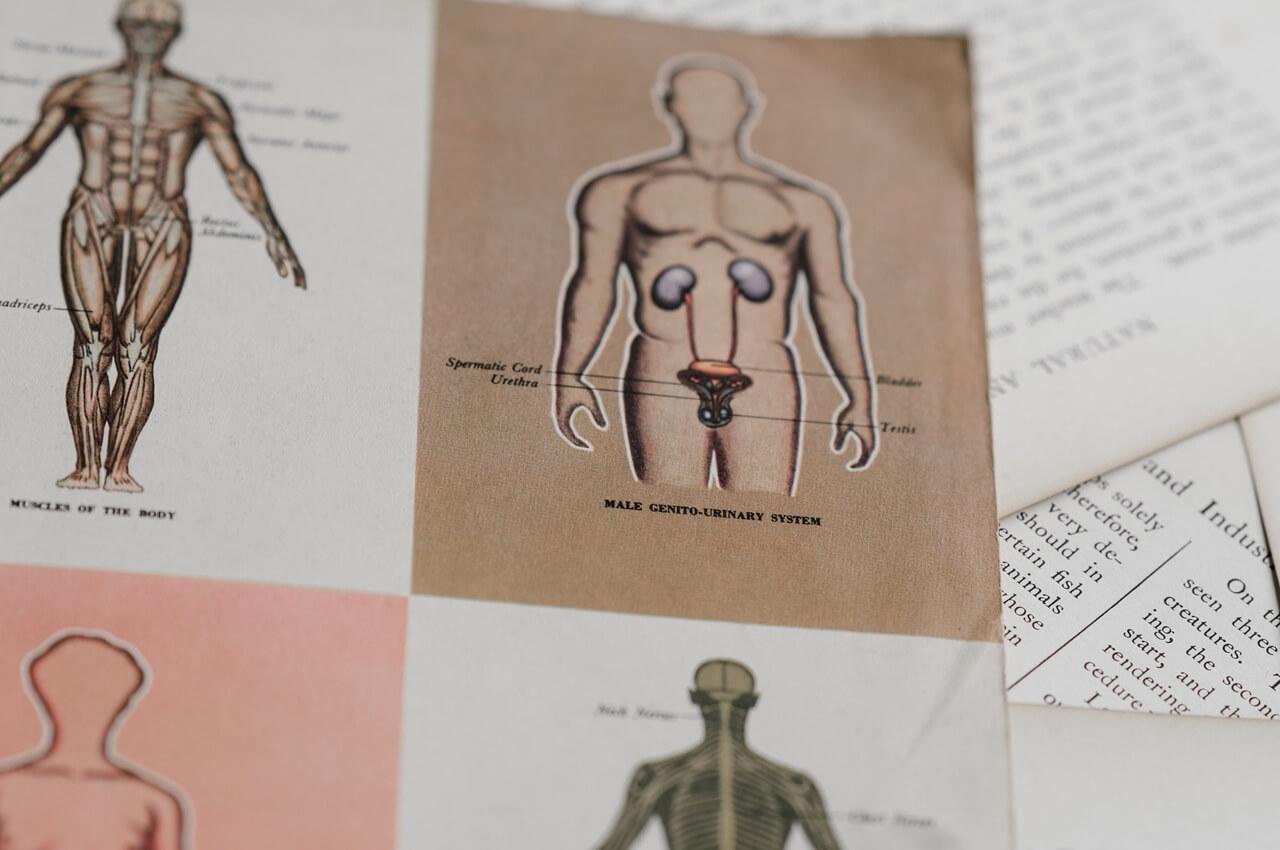 [Zadatak dana] Pitanje o muškom spolnom sustavu većini je lagano, možete li vi točno odgovoriti?
