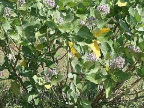 sträucher bilder mit namen sri lanka urlaub sträucher die toll duften frangipani.