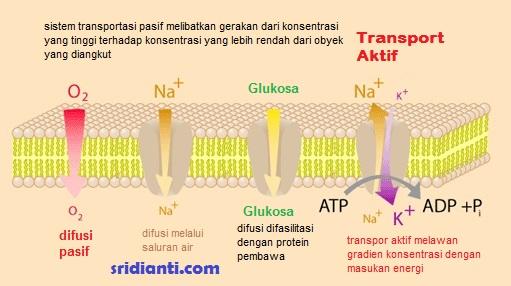 Transportasi Aktif Membran Sel