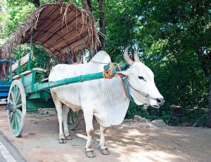 Village tours Bullock cart riding and catamaran riding habarana sigiriya dambulla sri lankan riders