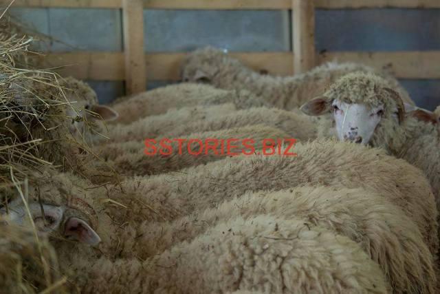Цигайската овца носи част от гените на овцата със Златно руно, което се отглеждали траките