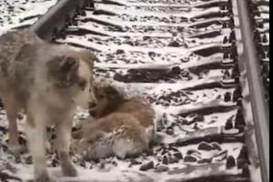 فيديو..كلب يرفض مغادرة صديقته ويواجه القطار لحمايتها