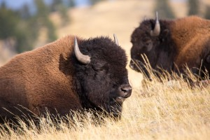 Bisons im Yellowstone
