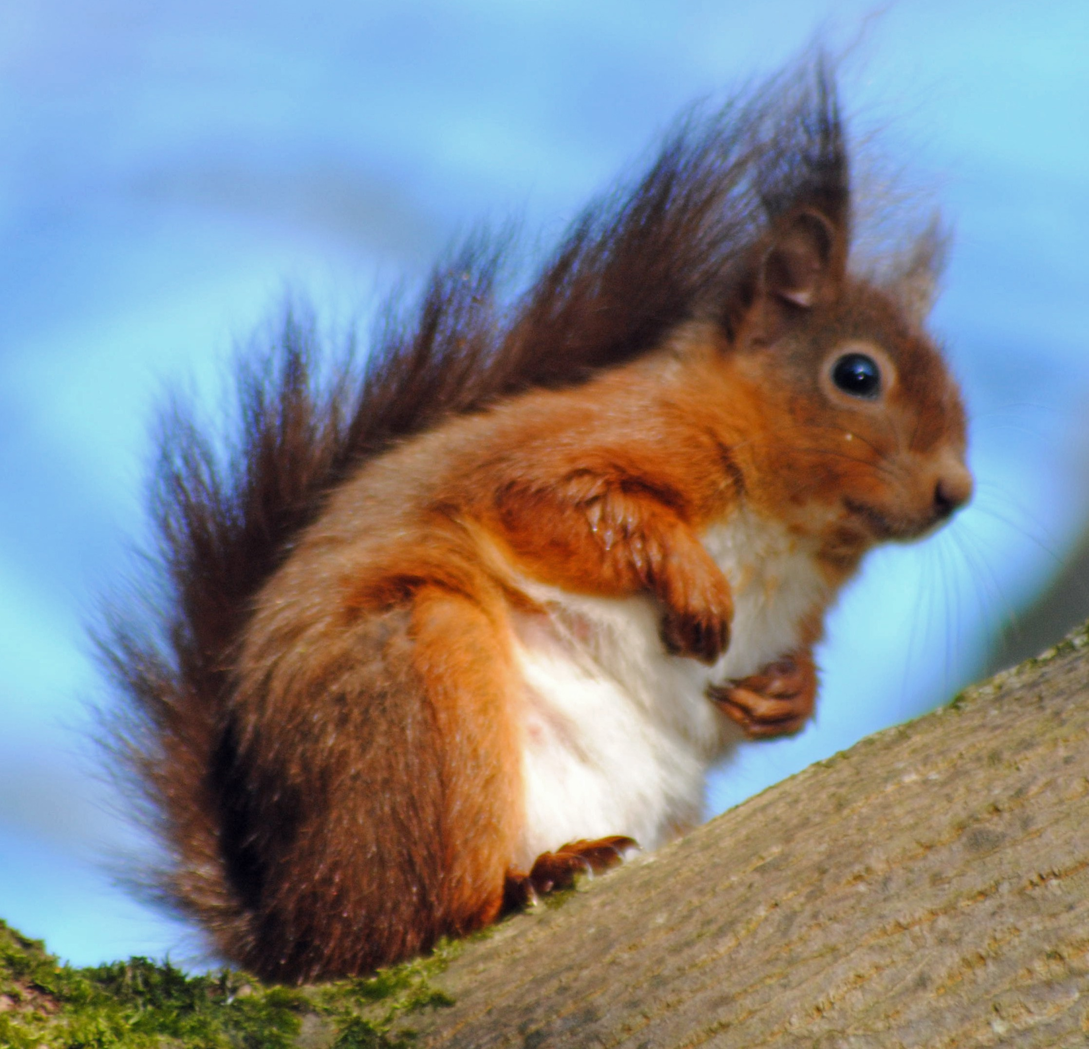 Red Squirrel at Howick