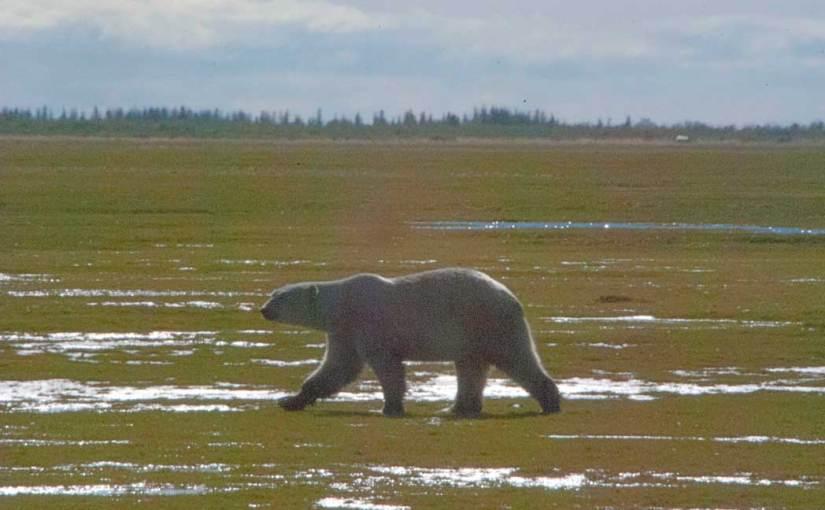 Photo: Watching the polar bears