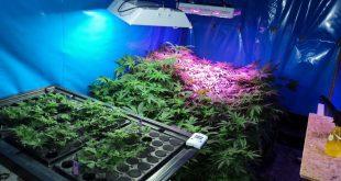 Marihuana Plantage