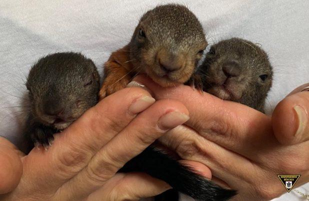 Feuerwehr rettet Eichhörnchen Babys