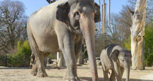 Jungbulle Otto inspiziert erstmals die Außenanlage im Tierpark Hellabrunn