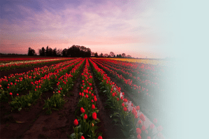 Rows of red tulips at sunset.