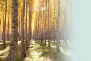 An avenue of trees is softly lit by a golden sun in a forest grove.