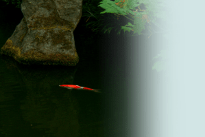 Koi fish in pond.