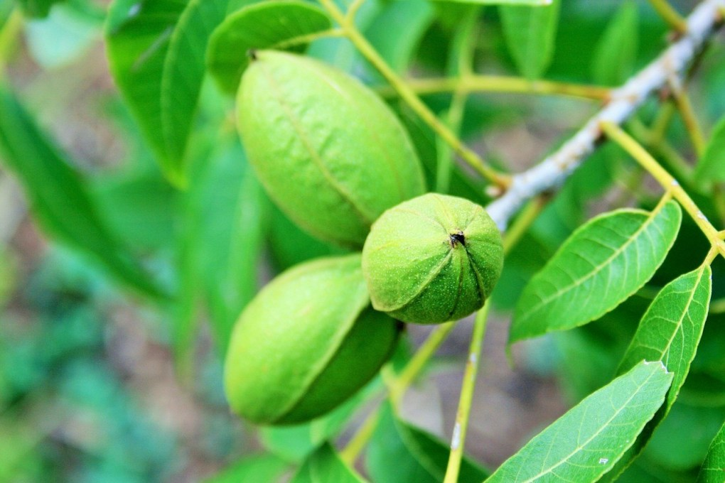 Wholesale Pecans – Known as a Superfood