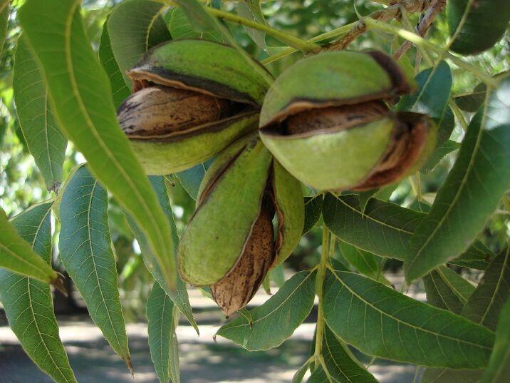 Natural pecans still on the tree