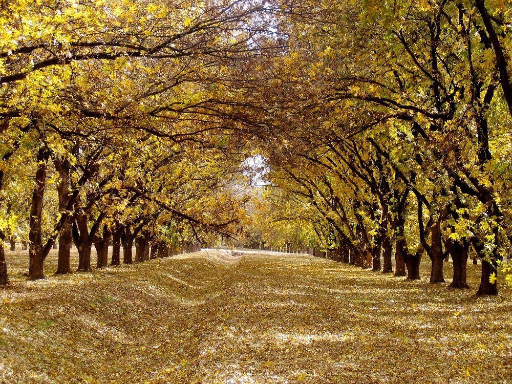 Pecan grove of a New Mexico pecan grower