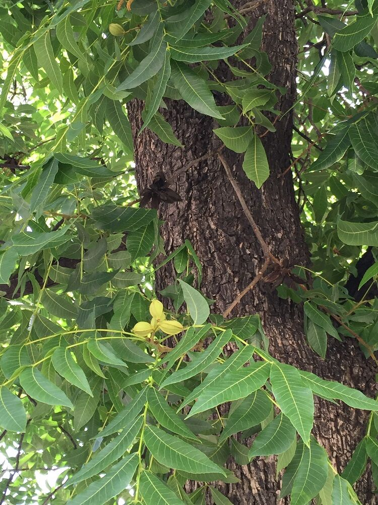 Growing high quality pecans