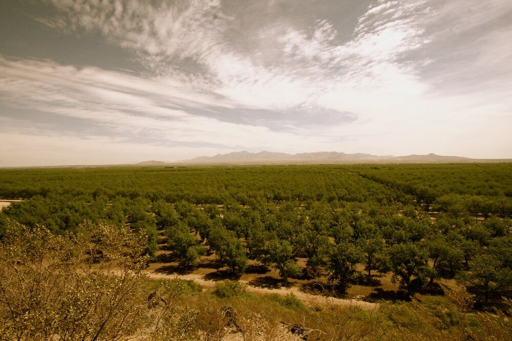 High quality pecan grower