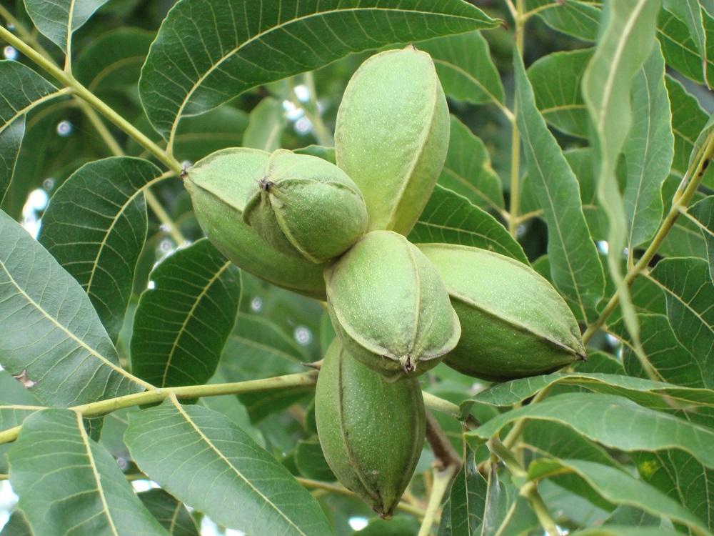Bulk pecans growing on the tree