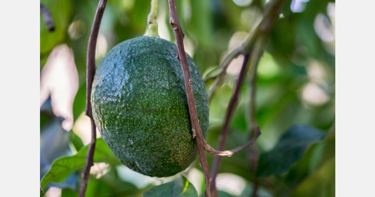 Masseria Fruttirossi to plant 40 hectares of avocado in Apulia