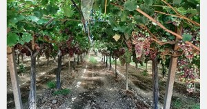 Grapes from Puglia destined for European as well as Arab countries