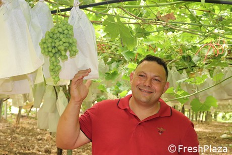 Seedless and organic grapes a popular trend for Sicilian grapes -