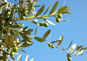EU divided over Italy's olive tree disease