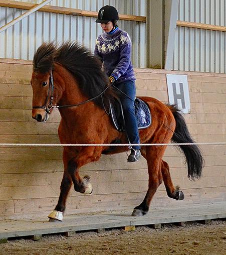 Litur från Lysegården f. 2008. Valack e Háleggur från Spelnästorp u Tibrá frá Varmalaek II. Ljusbrun med stjärn. Litur betyder färg. Han har en vacker ljusbrun färg precis som sin helbror Táleggur. Litur är en oerhört trevlig och nyfiken häst. Foto: Signe Ström Flugsrud