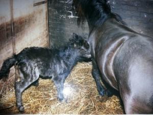 Shetlander Evita net na de bevalling van Noordje