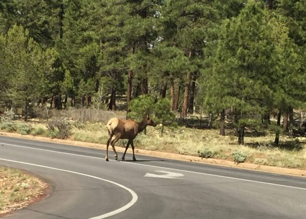 Elk don't really have predators there and aren't scared of anything so they just wander around