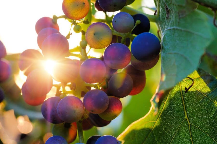 Wijn uit Hamburg: wijngaard aan de Stintfang
