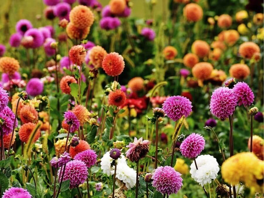 Dahliengarten in het Altonaer Volkspark: dahlia's in bloei