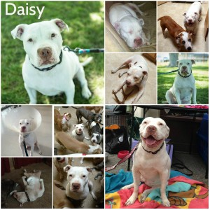 Daisy Stand Up For Pits