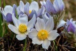 Wild Crocus Flowers