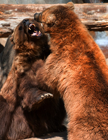Kodiak Bear Play