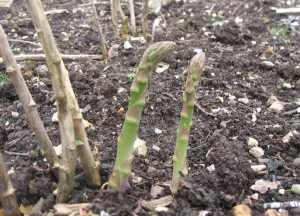 asparagus_growing