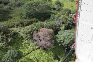 COURTESY KAUAI INVASIVE SPECIES COMMITTEE                                 A tree possibly infected by rapid ohia death is seen in December 2018 from a helicopter during a survey of the disease's possible spread on Kauai. State officials are seeking $20 million to battle the disease in Hawaii.