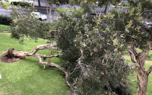 CHRISTIE WILSON / CWILSON@STARADVERTISER.COM                                 A large tree toppled over Sunday night at Queen Emma Gardens amidst gusty tradewinds.