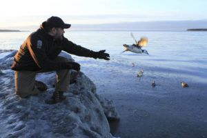 ASSOCIATED PRESS / 2016                                 Guy Runco, director of the Bird Treatment and Learning Center, releases a common murre near the Anchorage small boat harbor in Anchorage, Alaska. Hundreds of thousands of common murres, a fast-flying seabird, died from starvation four winters ago in the North Pacific, and a new research paper attempts to explain why.