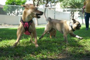 COURTESY CITY AND COUNTY OF HONOLULU                                 Dogs play at Kalo Place Mini Park in Moiliili.